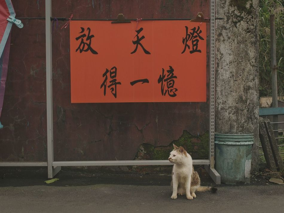 看板猫(^_^;)?招き猫かw 天燈 元宵節 Lanternfestival Chinese Culture Traditional Culture Cat Animals Landscape Streetphotography Street Photography Streetphoto_color Cat Watching Animal Photography Eye4photography  The Street Photographer - 2016 EyeEm Awards EyeEm Best Shots ゆ故事 at 十分老街 in Taiwan