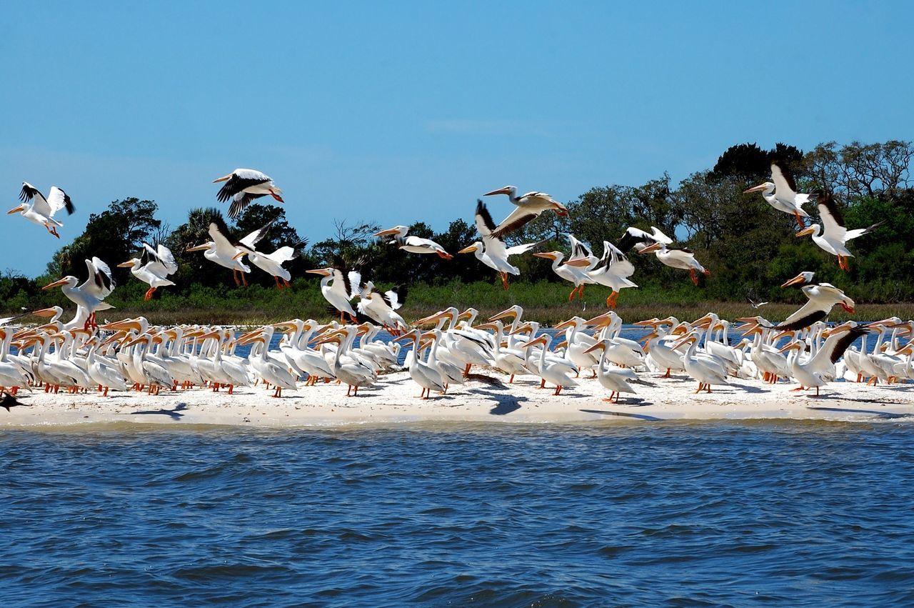 Flock Of Birds Beach Island Flock Of Pelicans Albino Pelicans Birds Pelicans Cedar Key Cedar Key National Wildlife Refuge