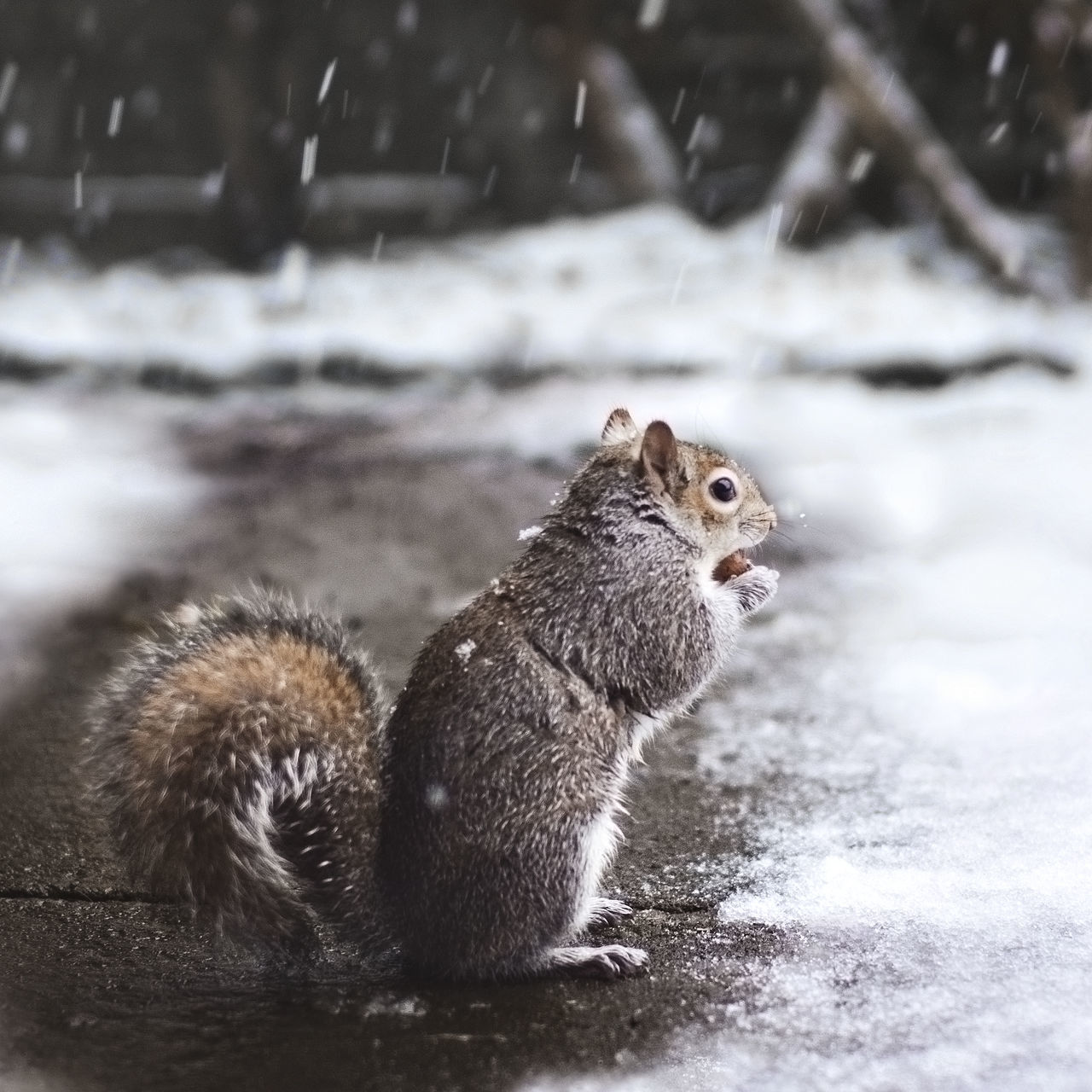 one animal, animal themes, squirrel, no people, nature, animals in the wild, mammal, focus on foreground, day, animal wildlife, outdoors, snow, close-up