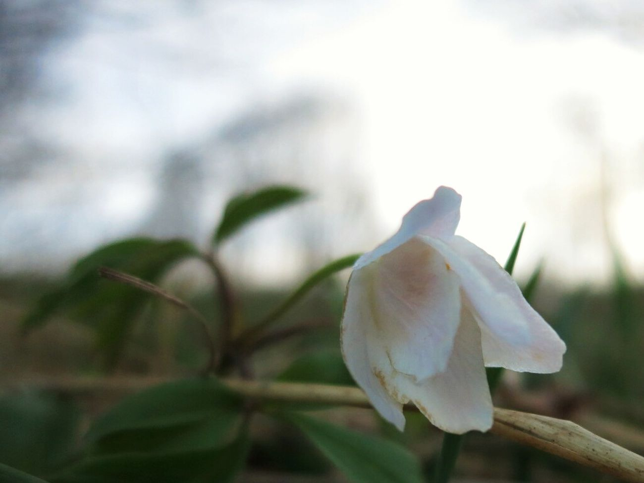 Wathing flowers, waiting for the bus. Nature Morning Spring Wood Anemone
