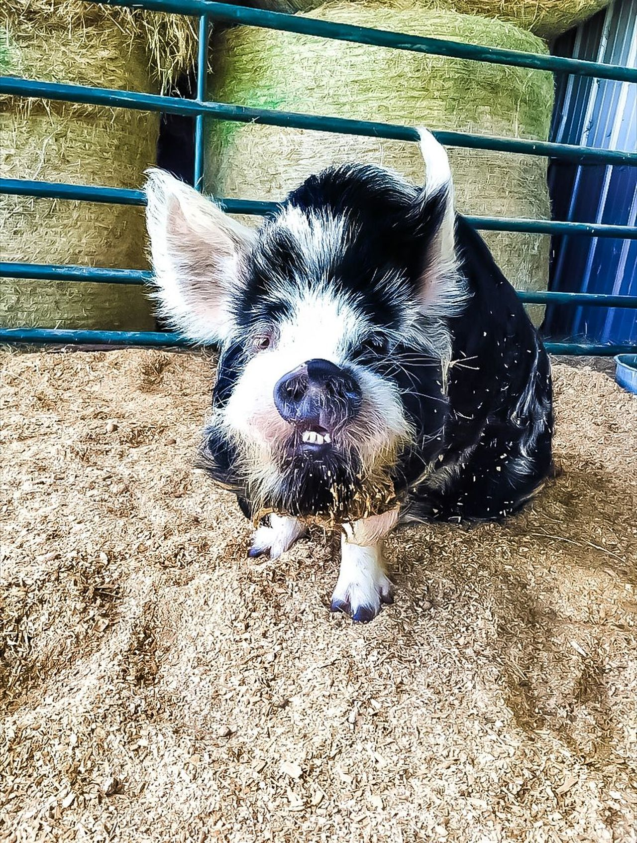Domestic Animals Pets One Animal Animal Themes Mammal Looking At Camera Portrait Close-up Buckteeth Funny Face Big Pig Bucktooth Big Teeth Farm Animal Pig Funny Anımals Piggy Pig Nose Ugly Is Nice Barn Animals So Ugly It's Beautiful! Pet Pig Fat Pig Pet Pets Of Eyeem