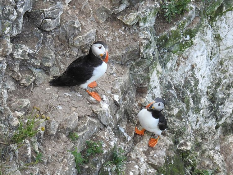 Honey I'm Home Puffins Bird Animals In The Wild High Angle View Animal Wildlife No People Outdoors Beauty In Nature Close-up Bempton Cliffs