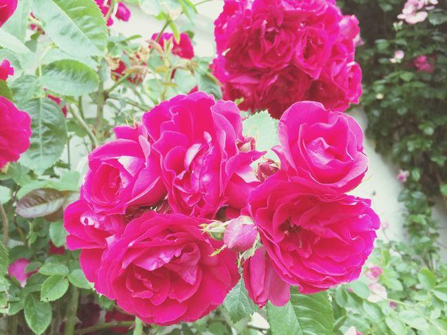 Garden Flowers My Garden Flower Love It Roses Rosy Summer Beautiful Proud Blossom
