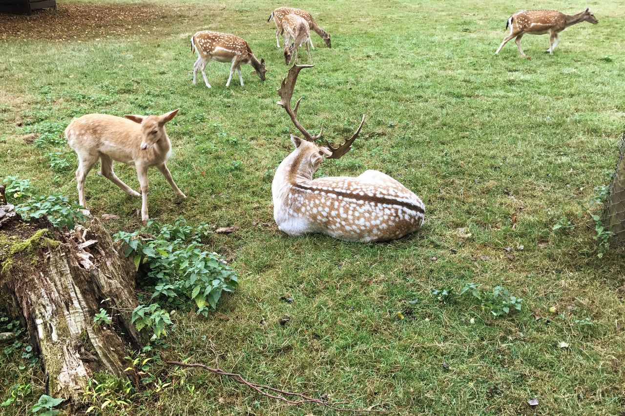 Deer Roe Deer Animals Herd Grass Animal Themes Field Mammal Wildlife Grassy Green Color Domestic Animals Nature Livestock Zoology Tranquility Animal Day Outdoors Grass Area Non-urban Scene No People