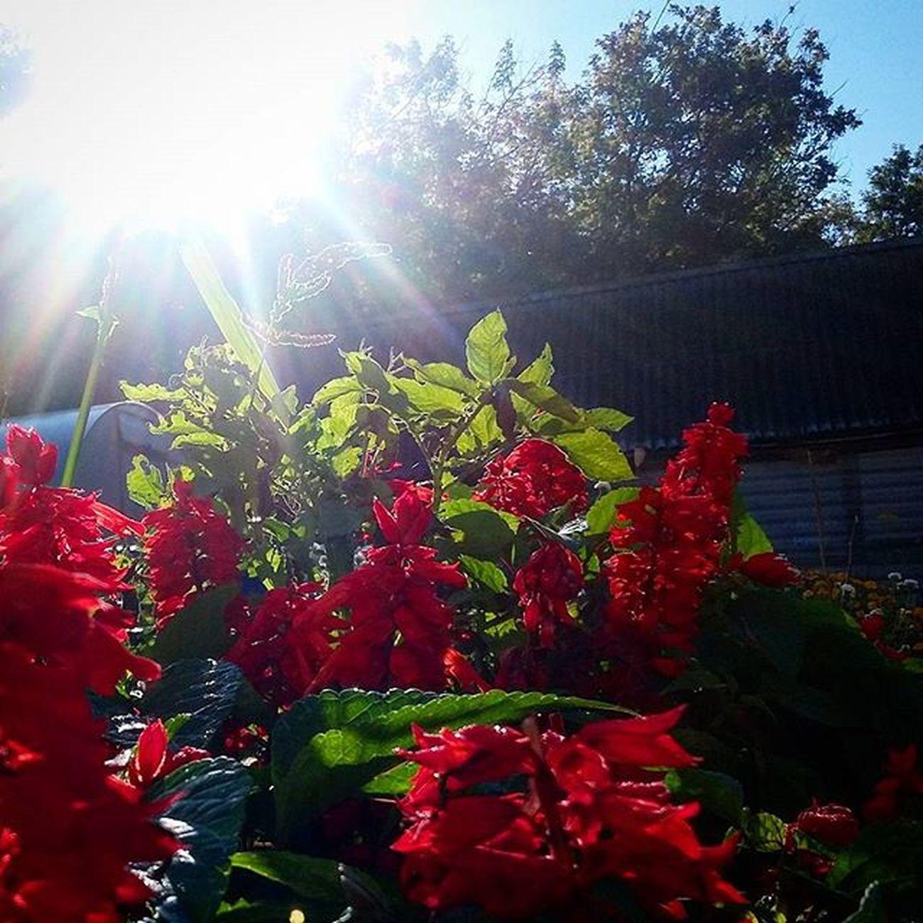 Доброе утро всем! Завтра уже осень! ) доброеутротатарстан бирюли вгостях Sun morningtime instaday time hashtags 2015 summerday trees flowers утро сальвия август31 завтраосень