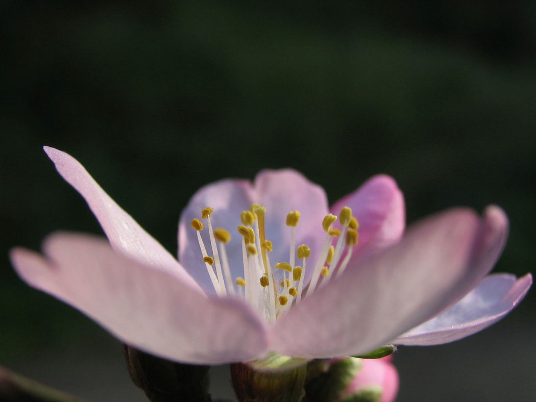 Blossom flower of the almond. Pink Flower Pink Blossom Blossom Flower Macro_flower Macro_collection Macro Photography Macro Beauty Floral Perfection Dof Dofaddicts Depth Of Field Nature_collection Macro Flowers Andalucia Rural