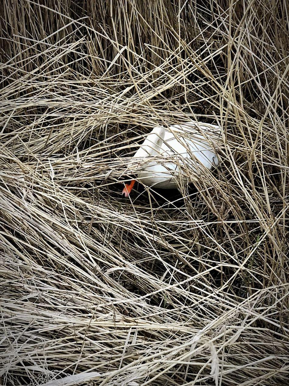Animal Nest Swan Animals In The Wild Nature