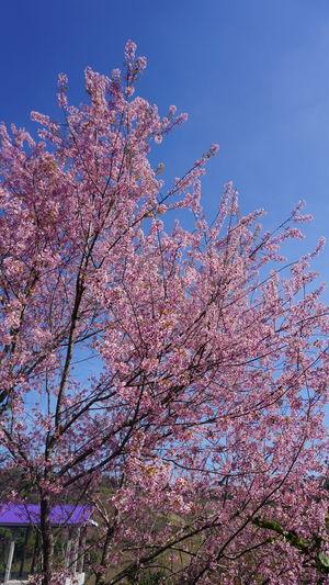นางพยาเสือโคร่ง นางพญาเสือโคร่ง พญาเสือโคร่ง ซากุระเมืองไทย Sakura Low Angle View Blossom Flower Growth Beauty In Nature Tree Sky