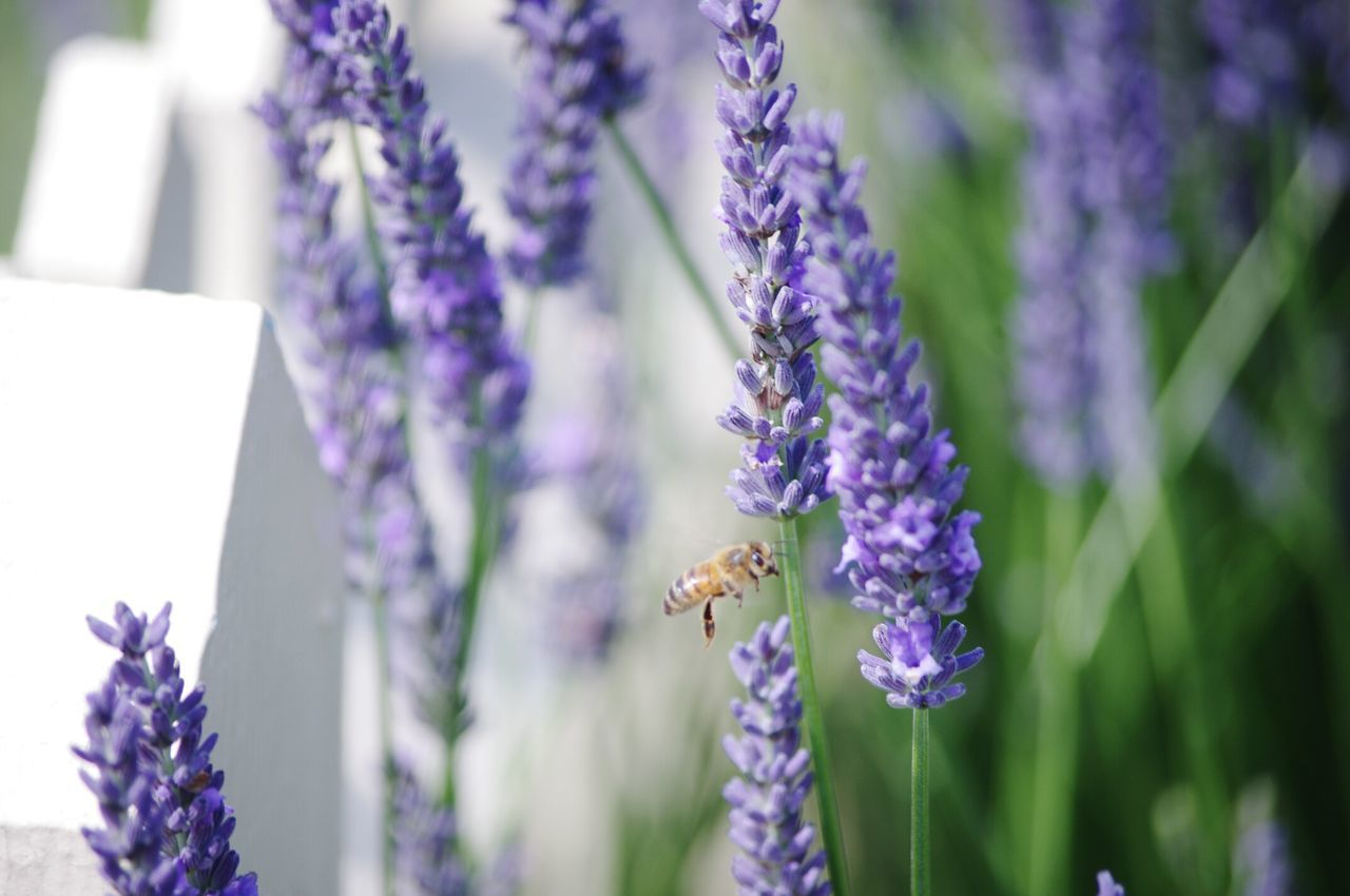 Hony Bee Lavender Flowers White Picket Fence Nature Nature On Your Doorstep Relaxing Taking Photos Summer Memories 🌄 Working In My Garden Freind Of The World Hardworking Bee
