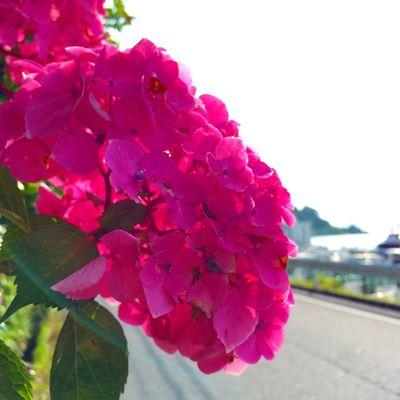 Flower Hydrangeg Landscape 仕事帰りに紫陽花をパチリ