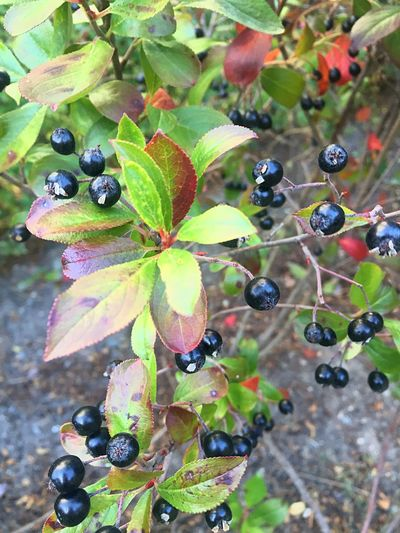 Autumn Fruit Close-up Growth Leaf Nature Plant Beauty In Nature Chokeberry Chokeberries Aronia Autumn Fall Sweden Swedish Nature Stockholm