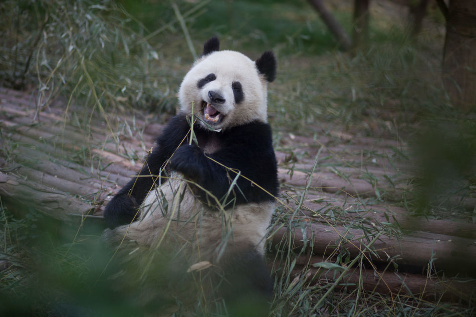 Beautiful stock photos of panda, Animal Themes, Animals In The Wild, Day, Front View