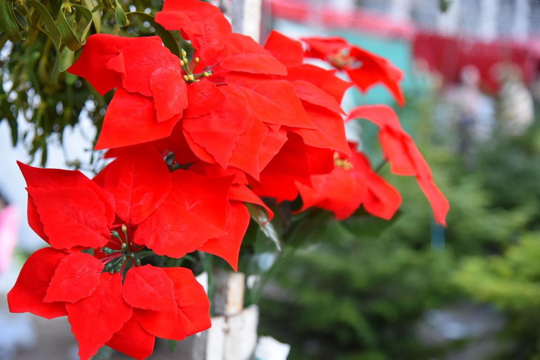 Red Plant Ornamental Flowers Beauty In Nature Christmas Decoration Plaza Mayor Noël Merry Christmas🎄🎅🏻 Boas Festas E Um Feliz 2016. Merry Christmas Everyone Bon Nadal! ¡Feliz Navidad! Bon Nadal Feliz Navidad Merry Christmas