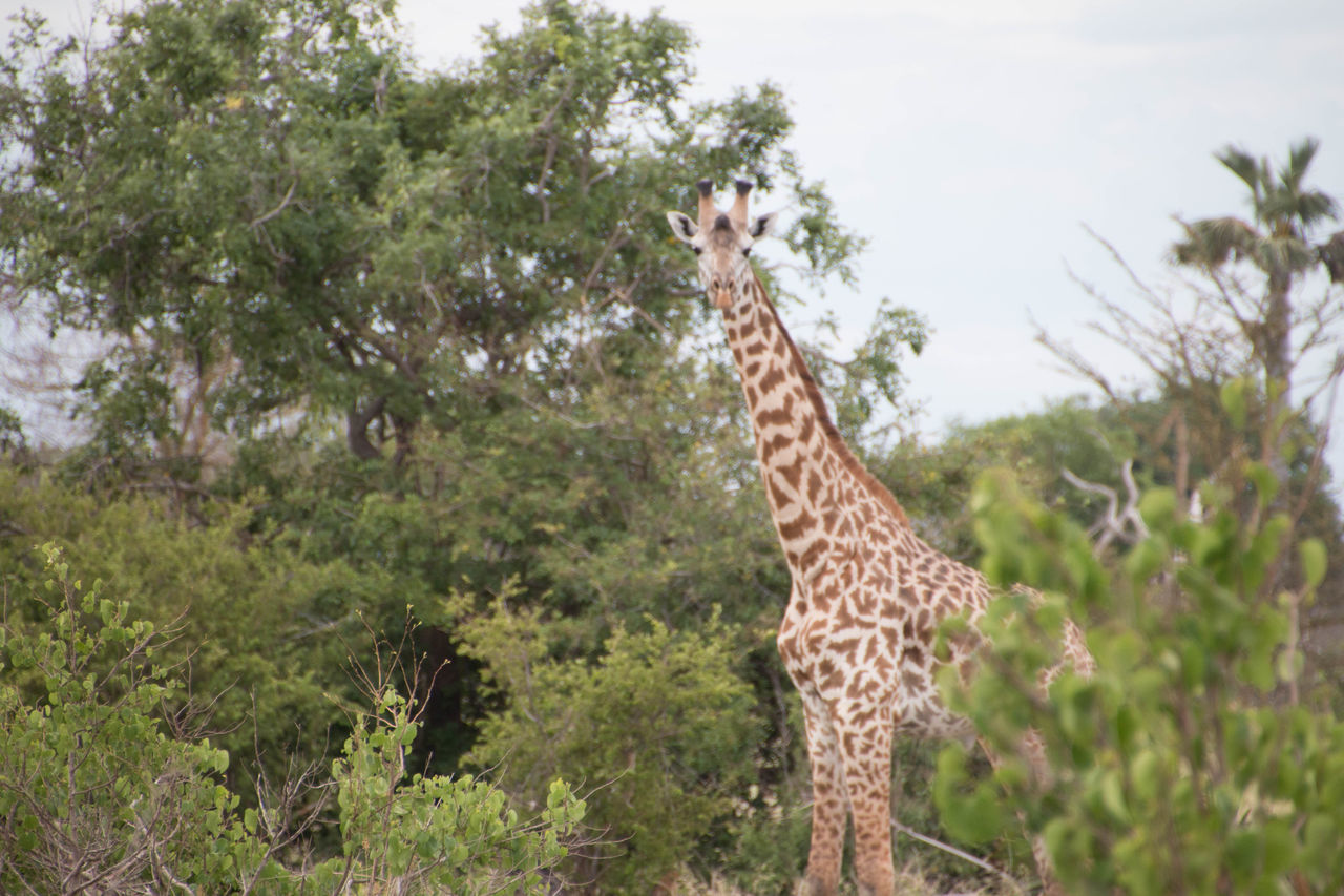 Giraffe in a the bush in Saadani National Park Animal Themes Animal Wildlife Animals In The Wild Day Forest Giraffe Growth Leopard Low Angle View Mammal Nature No People One Animal Outdoors Safari Animals Sky Tree