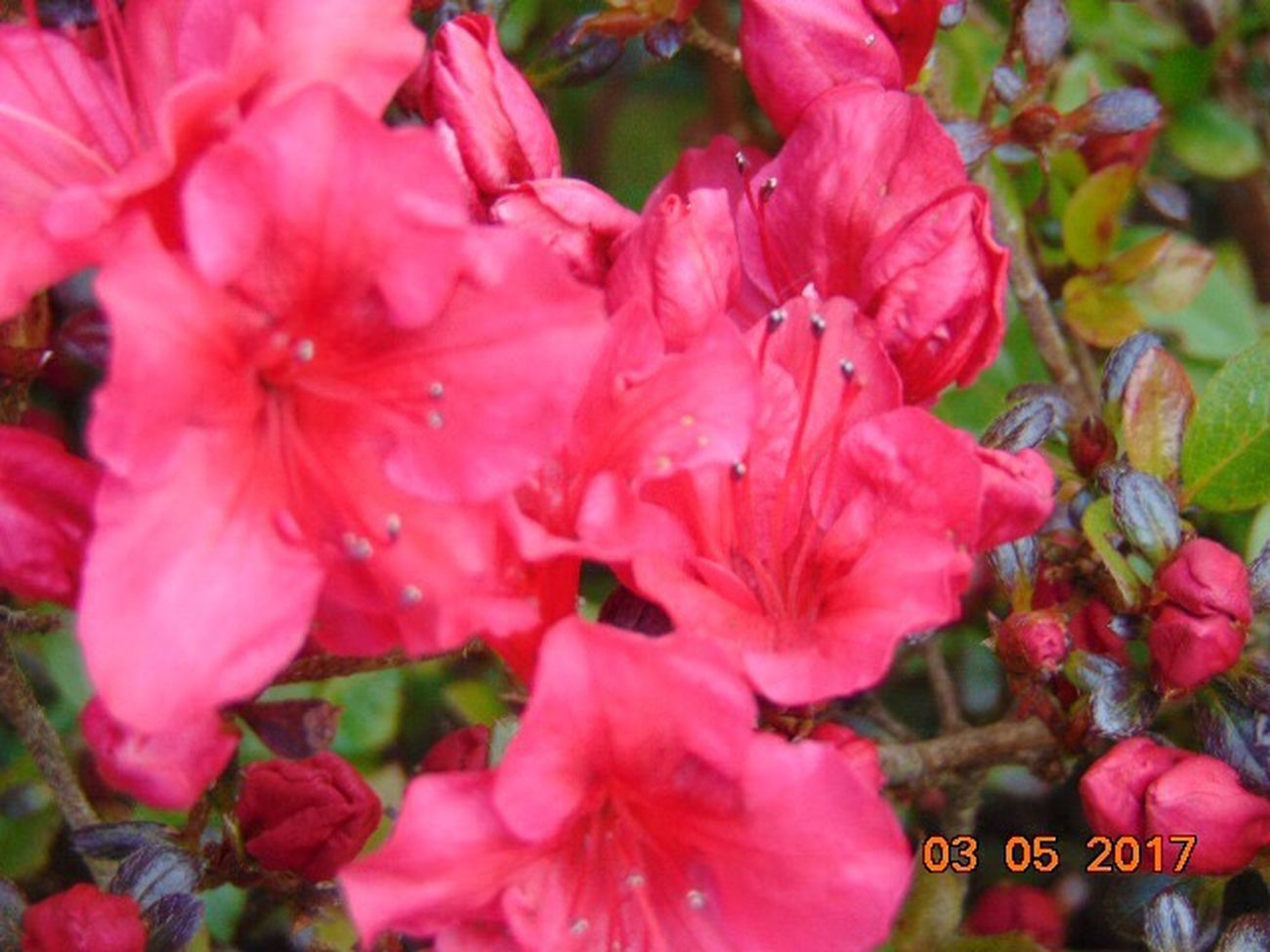 Flower Growth Pink Color Beauty In Nature Petal Fragility No People Day Flower Head Outdoors Nature Close-up Freshness Springtime Azalea Flowers St Agnes