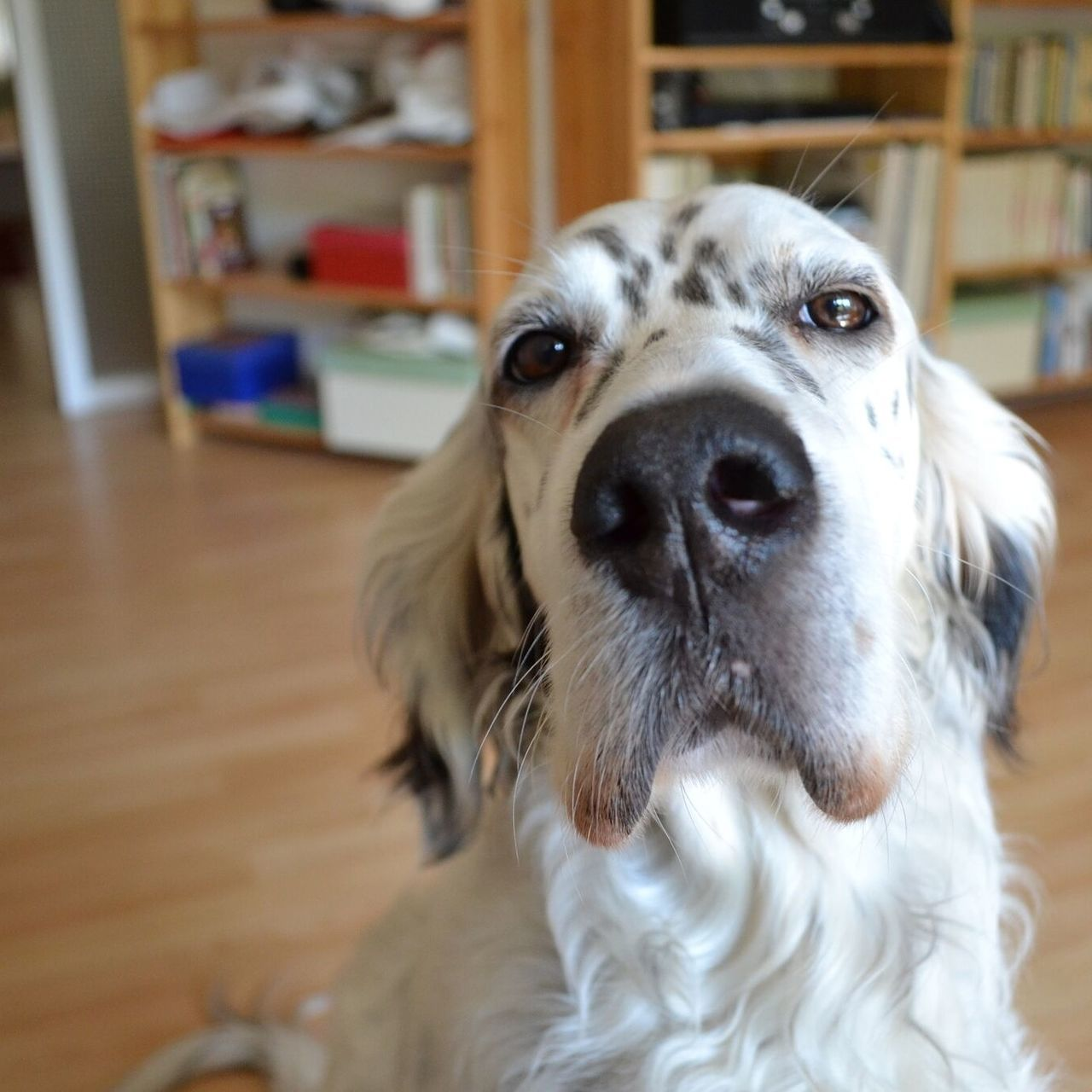 Englischer Setter Animal Themes Day Dog Focus On Foreground Hund Hundefotografie Indoors  Looking At Camera No People Portrait Setter