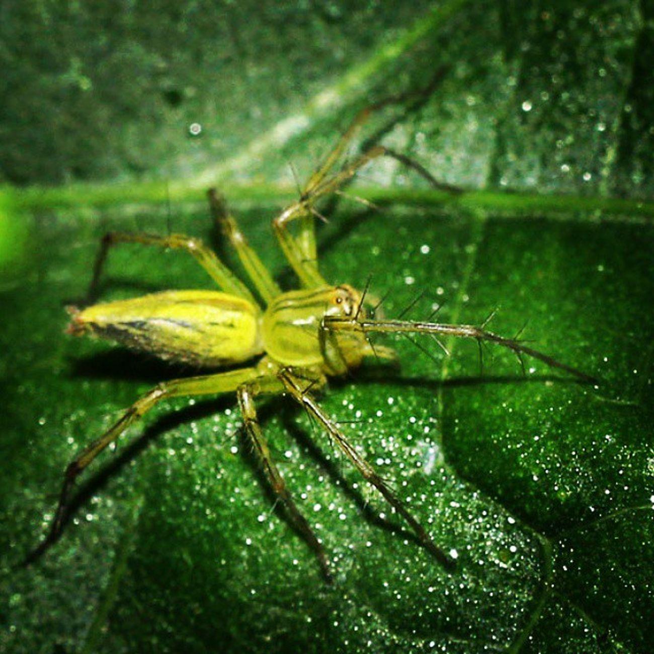 Merayap mengintip mangsa. Spider Spiderworld Ig_spiders Ig_spider labalaba green_green