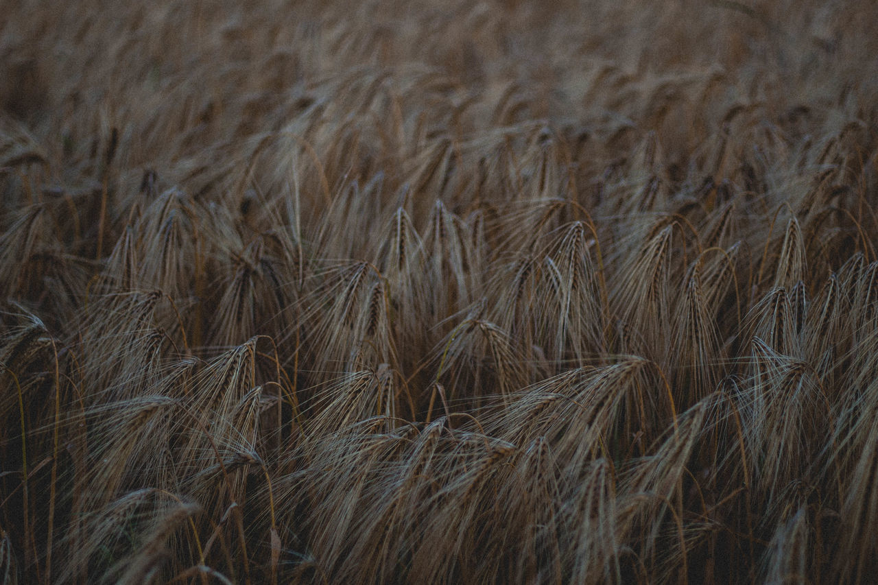 agriculture, field, nature, rural scene, outdoors, tranquility, no people, cereal plant, close-up, day, beauty in nature, backgrounds, growth, wheat