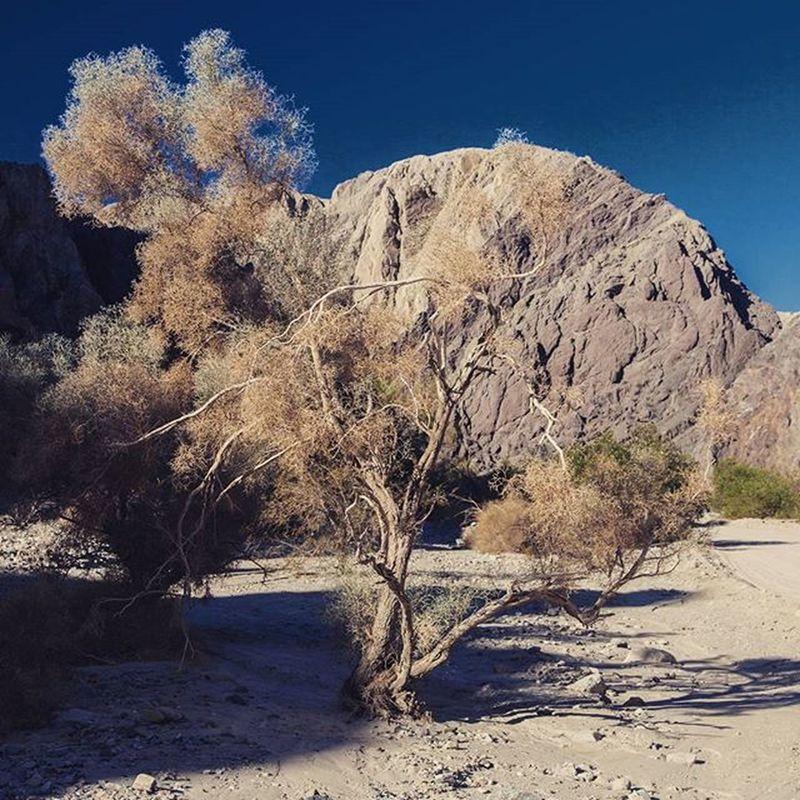 A smoke tree at Painted Hills Smoketree Laddercanyon Paintedhills Southerncalifornia Coachella CoachellaValley Photooftheday Photo Awesome_photographers Photooftheday