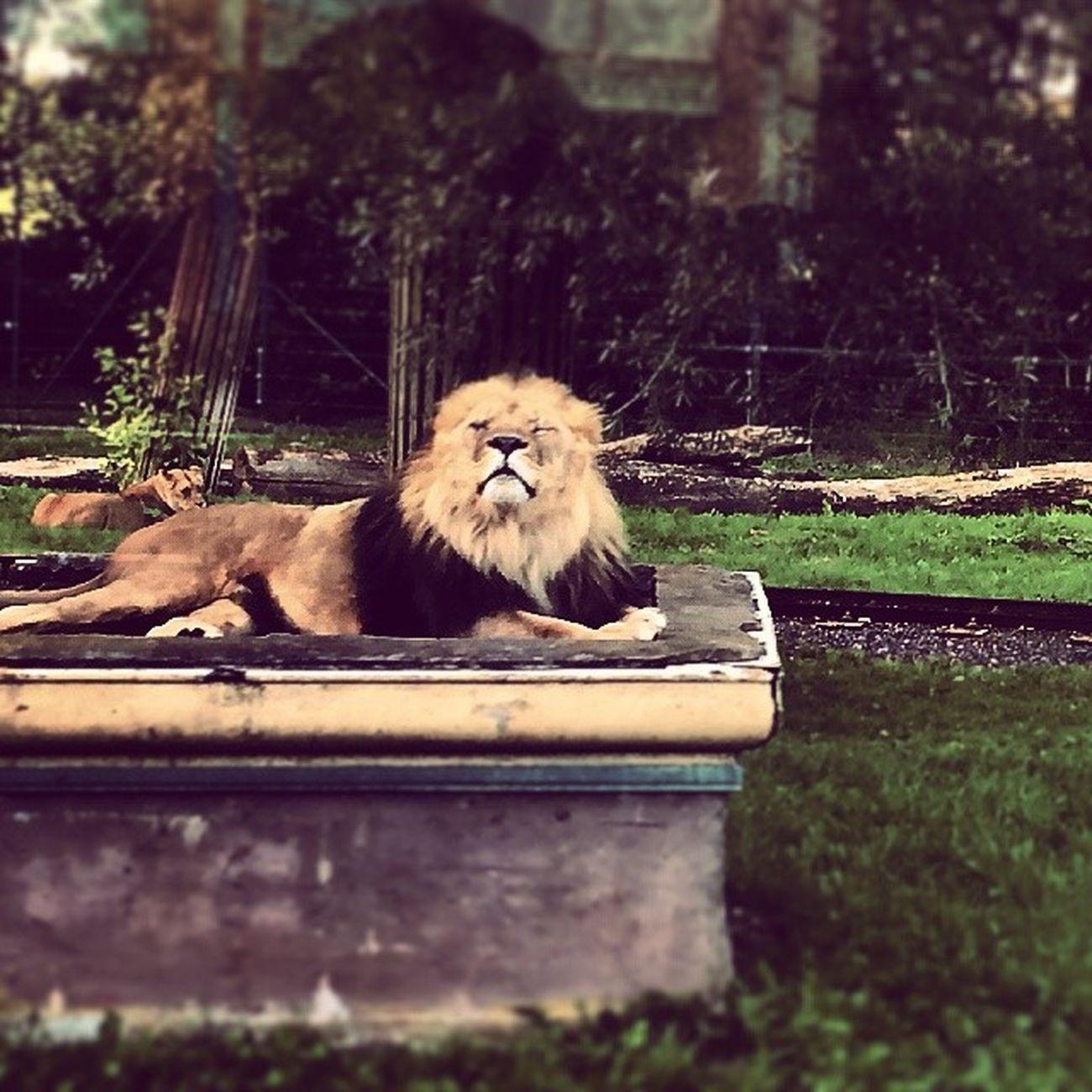 Lion King Bellewardparc TKPhotography