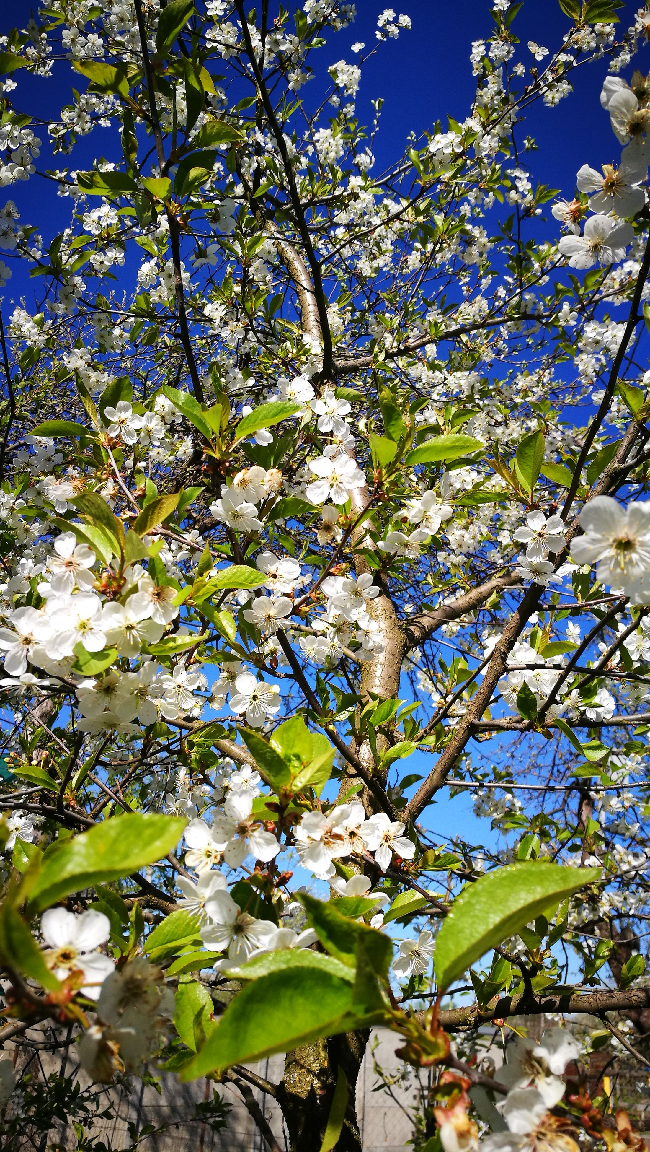 flower, growth, blossom, tree, fragility, nature, springtime, branch, beauty in nature, freshness, apple blossom, botany, no people, low angle view, day, petal, sunlight, spring, outdoors, close-up, flower head