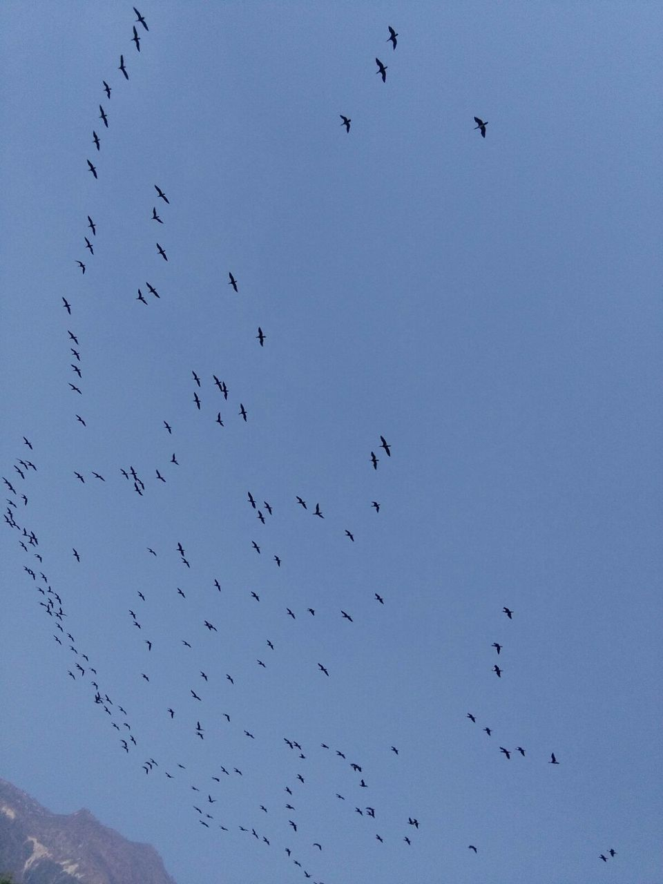large group of animals, bird, flock of birds, animals in the wild, flying, animal themes, migrating, animal wildlife, wildlife, low angle view, nature, no people, mid-air, clear sky, outdoors, beauty in nature, day, togetherness, sky, spread wings