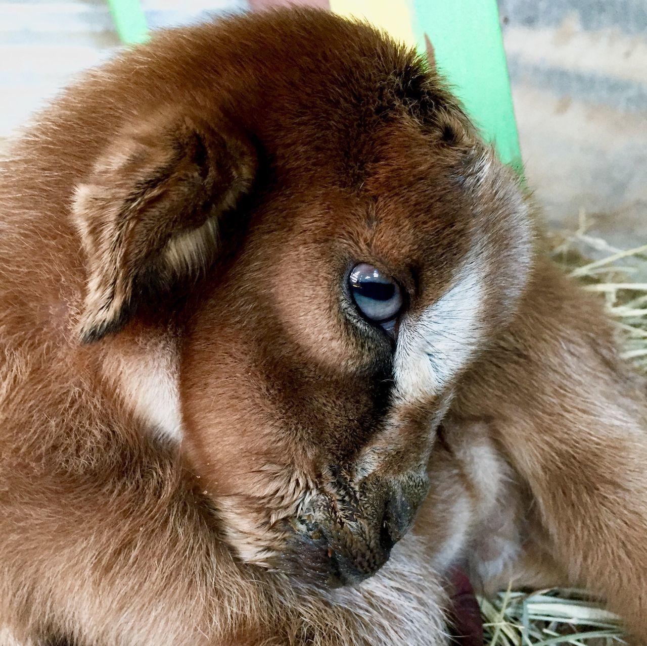 Billy Goat Billy The Kid Farm Animals