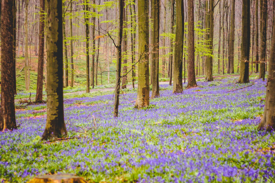 Beautiful Nature Beauty In Nature Blossoming  Flower Flowers Forest Forest Photography Hallerbos Nature Nature Nature_collection No People Outdoors Plant Purple Purple Flowers Tree Wilderness Area Woods