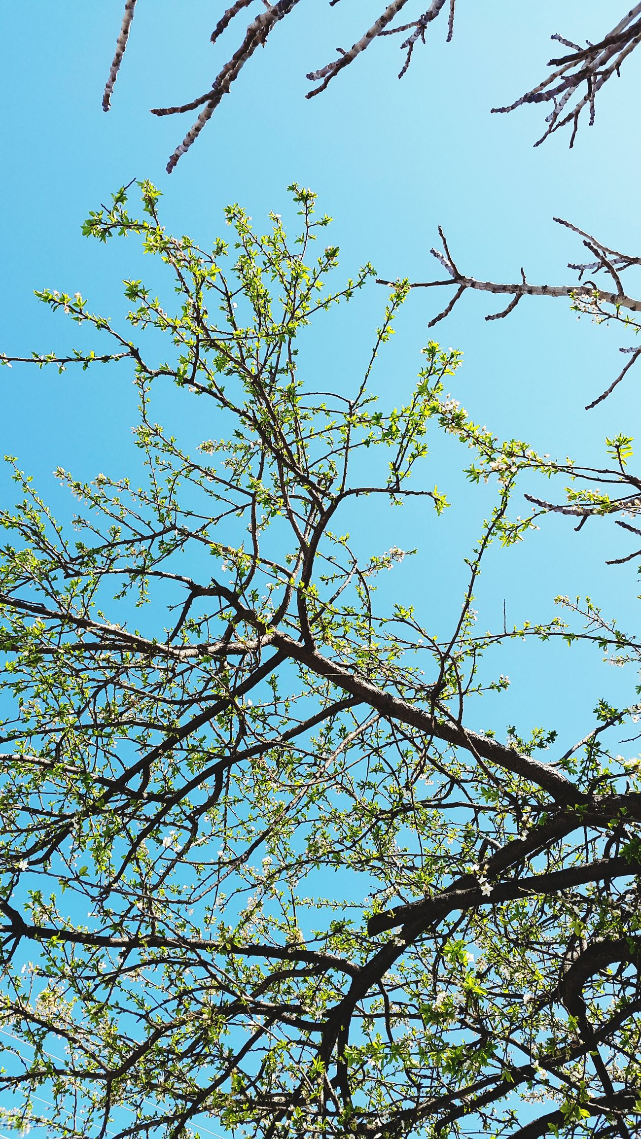 Low Angle View Blue Sky Clear Sky Nature No People Branch Close-up Growth Day Tree Outdoors Beauty In Nature Tree Nature Köyevi Köy Günaydın...Goodmorning Gununkaresi Gununfotografi