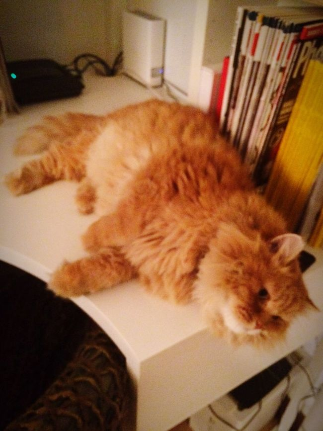 His name is George Michael the very Cute Ginger Persiancat Cat
