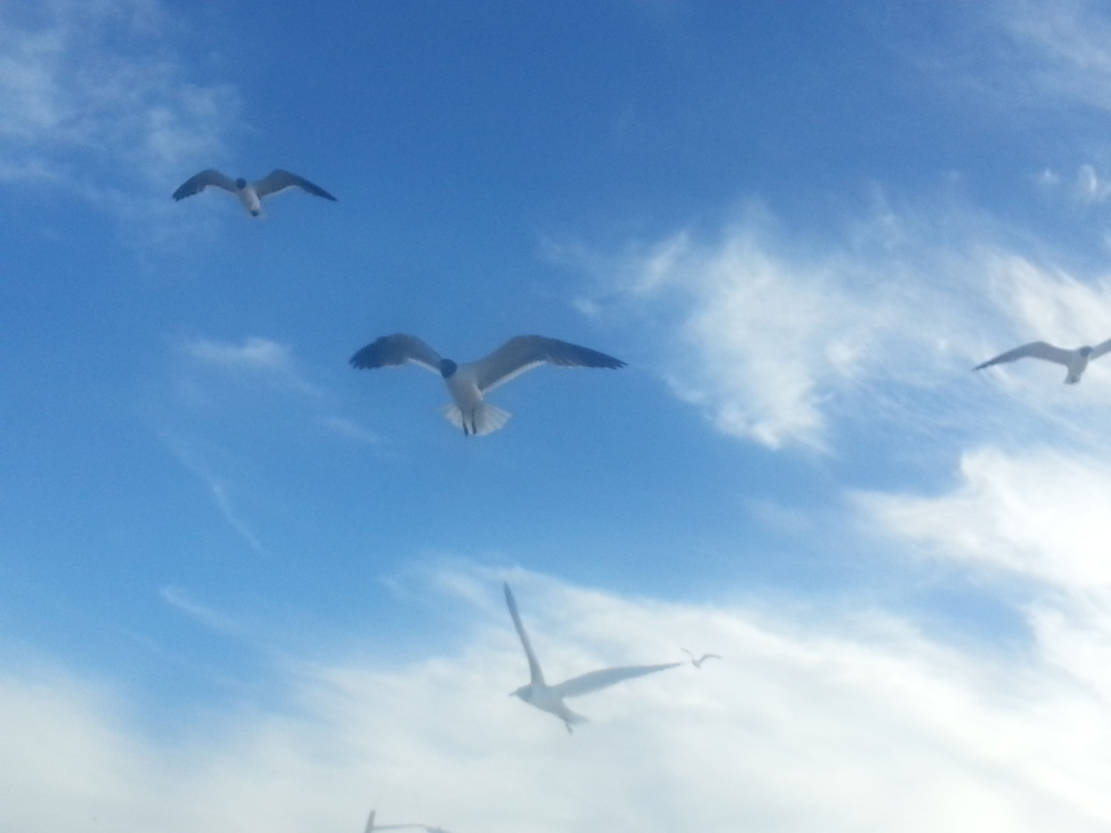 flying, bird, animal themes, low angle view, mid-air, spread wings, animals in the wild, wildlife, seagull, sky, flight, on the move, blue, motion, cloud - sky, airplane, one animal, nature, cloud, freedom