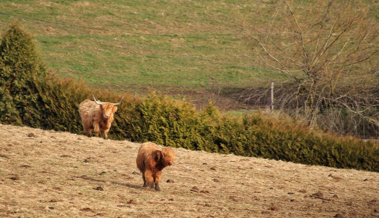 Animal Themes Grass Sunlight Field Nature Day Outdoors Domestic Animals Landscape No People Schwarzwald EOS700D Canon700D Bovine Black Forest Germany Beauty In Nature Springtime