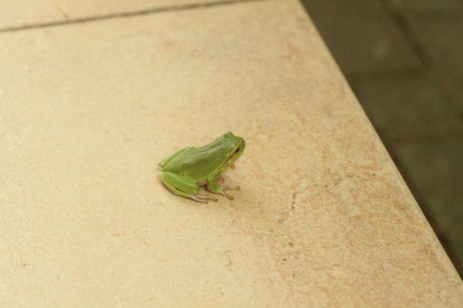 Animal Themes Animals In The Wild Frog Green Greenfrog Leaf One Animal Wildlife