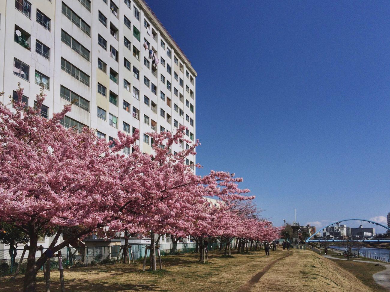 Kawazu-zakura Springtime Tadaa Community