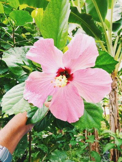 Goodmorning | A Beautiful Monday to start your day. |Take Care Gumamela Flower Open Edit Goodmorning Inprovince