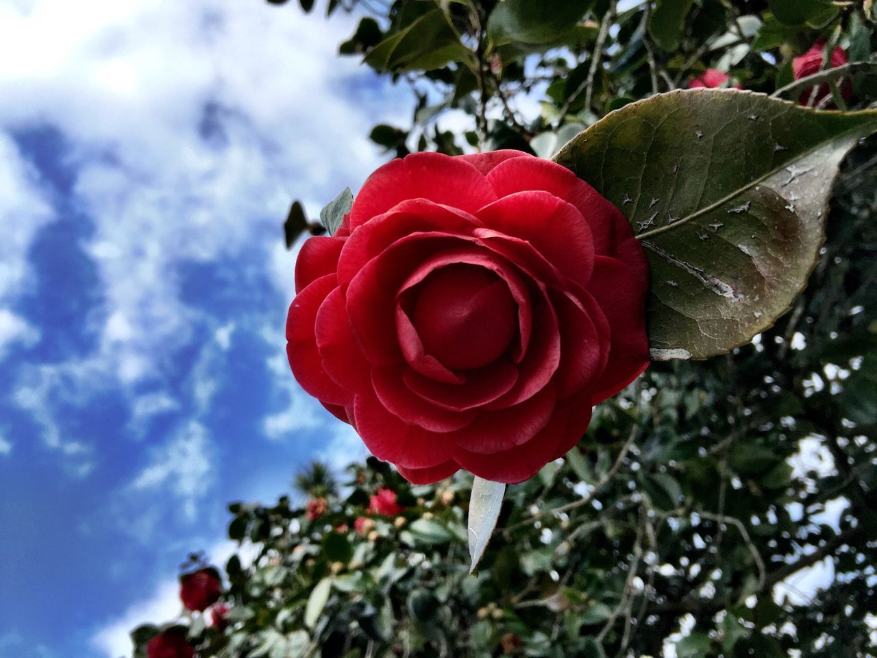 flower, red, petal, fragility, nature, beauty in nature, rose - flower, freshness, flower head, growth, close-up, no people, day, outdoors, blooming