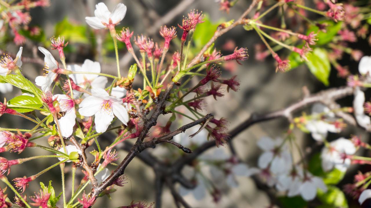 #sakura #sakurajapan #Tokyo Nature Outdoors