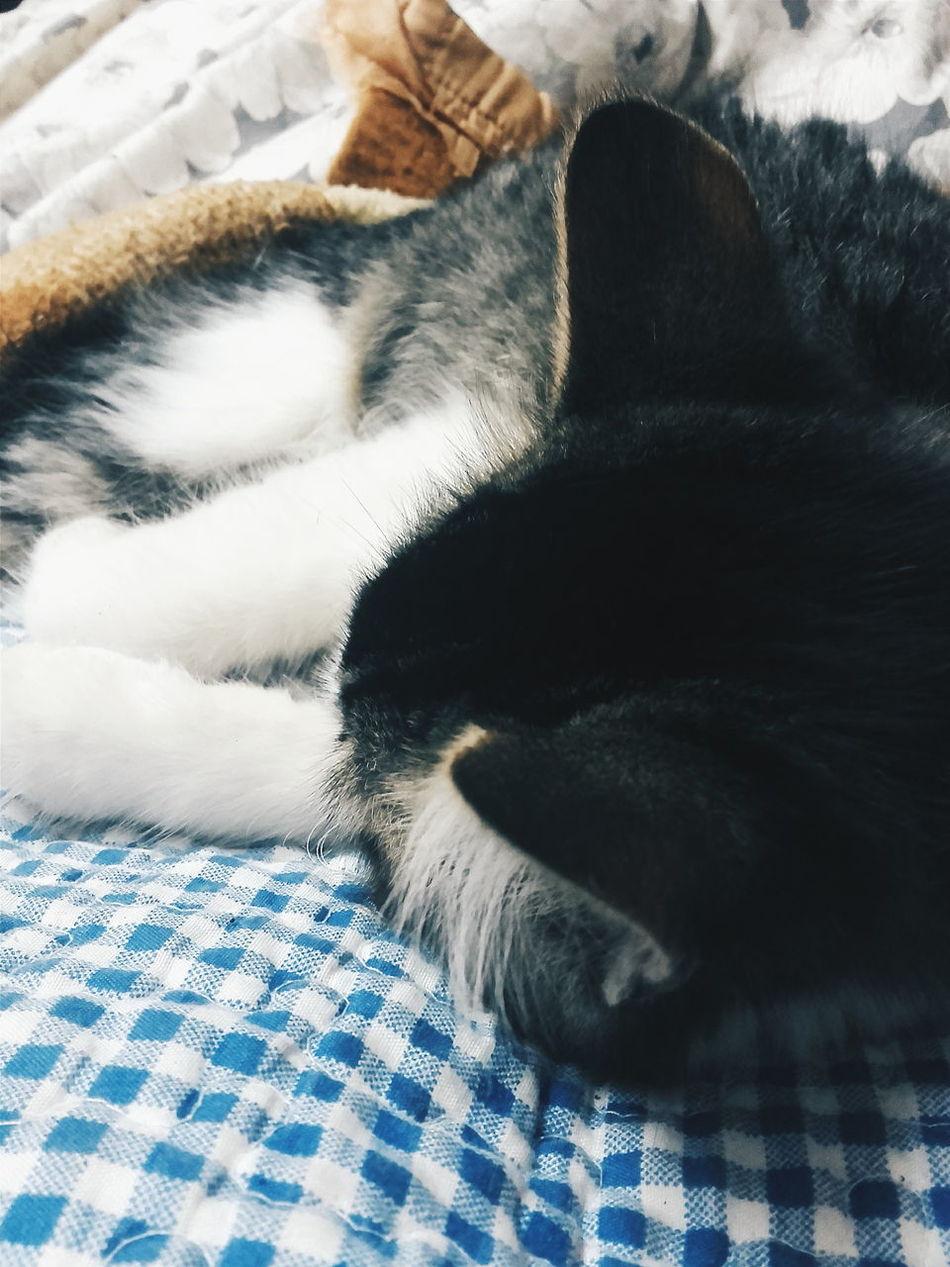 La bella durmiente Tierna Duerme Gato Gatita  Descansa Cama Abrigo Pelo Orejas Sleepybeauty Daisy House