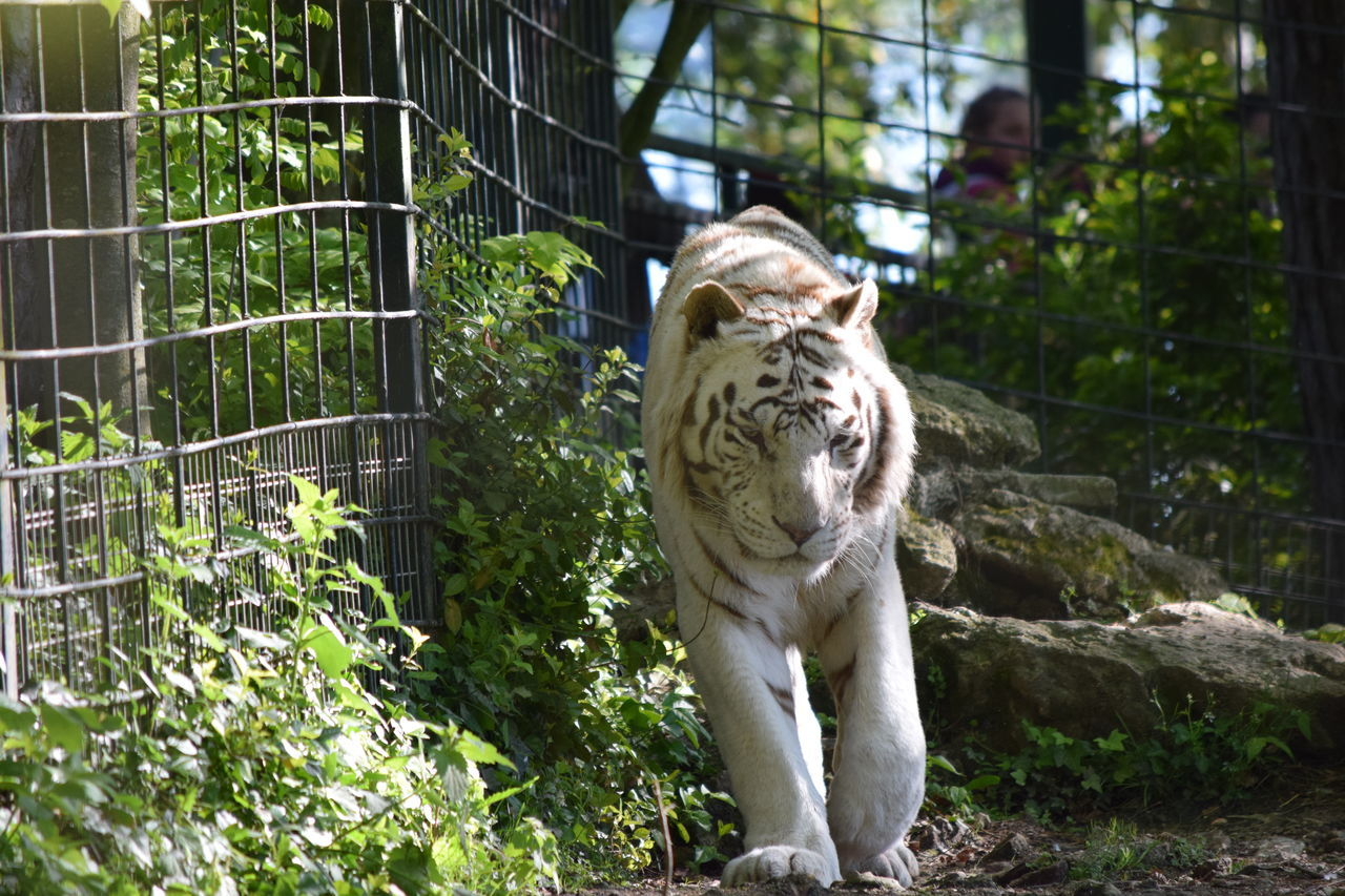 White Tiger Animal Themes Animals In The Wild Beauval Carnivora Day Feline Mammal Nature No People One Animal Outdoors Safari Animals Tiger White White Tiger White Tiger Wildlife Zoo