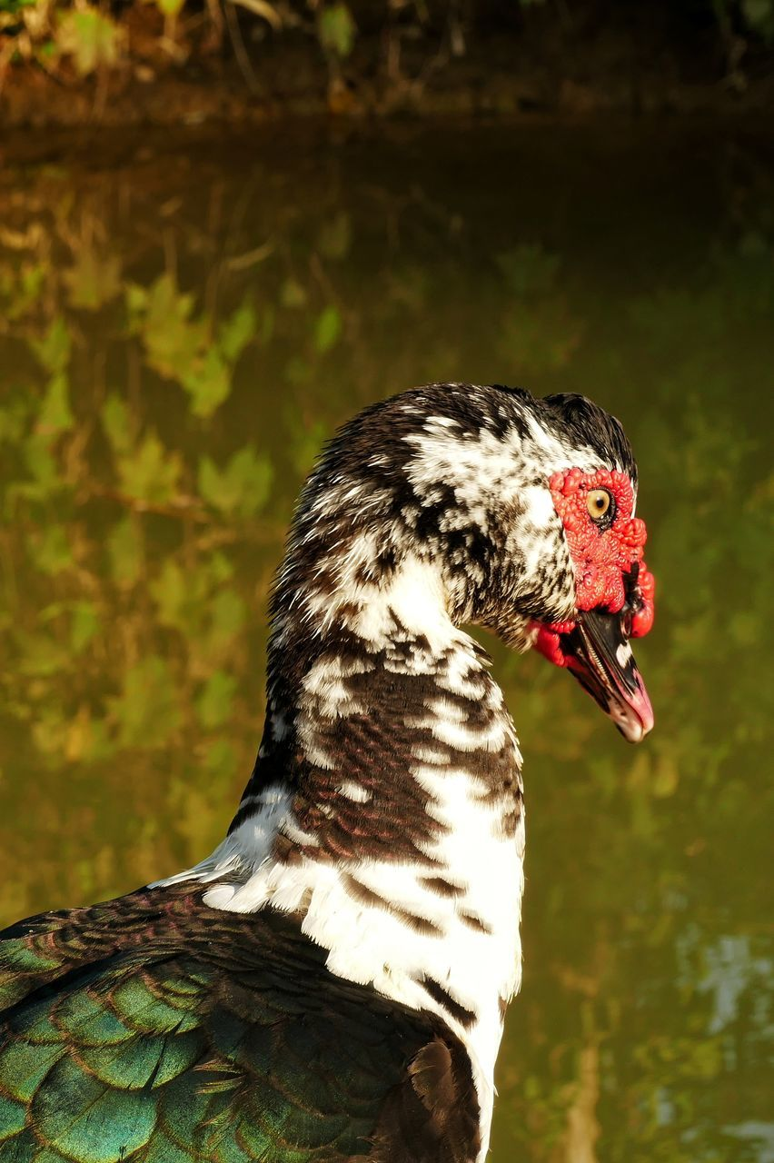 bird, animal themes, one animal, muscovy duck, animals in the wild, duck, animal wildlife, focus on foreground, beak, day, close-up, water bird, outdoors, red, nature, no people, water