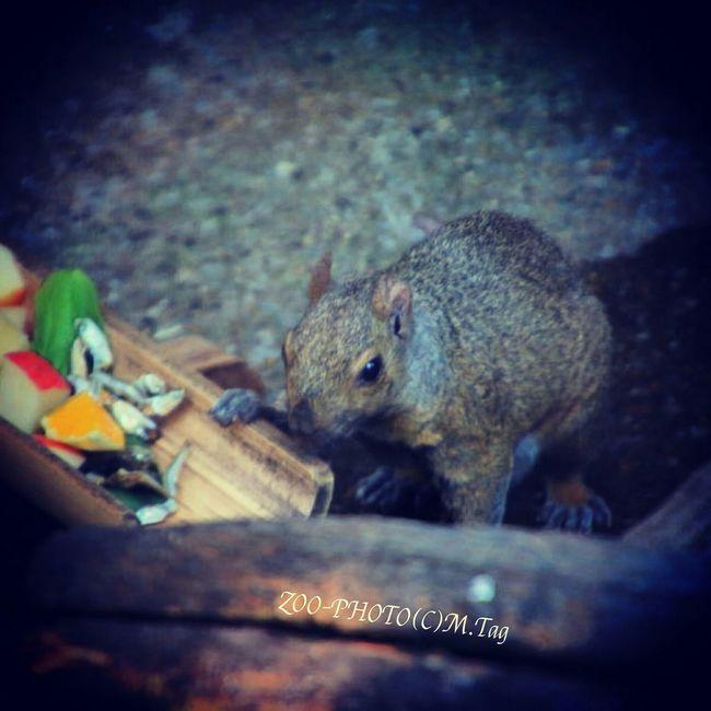 ZOO-PHOTO Zoo Animals 江戸川区自然動物園 ハイイロリス 果物と煮干し