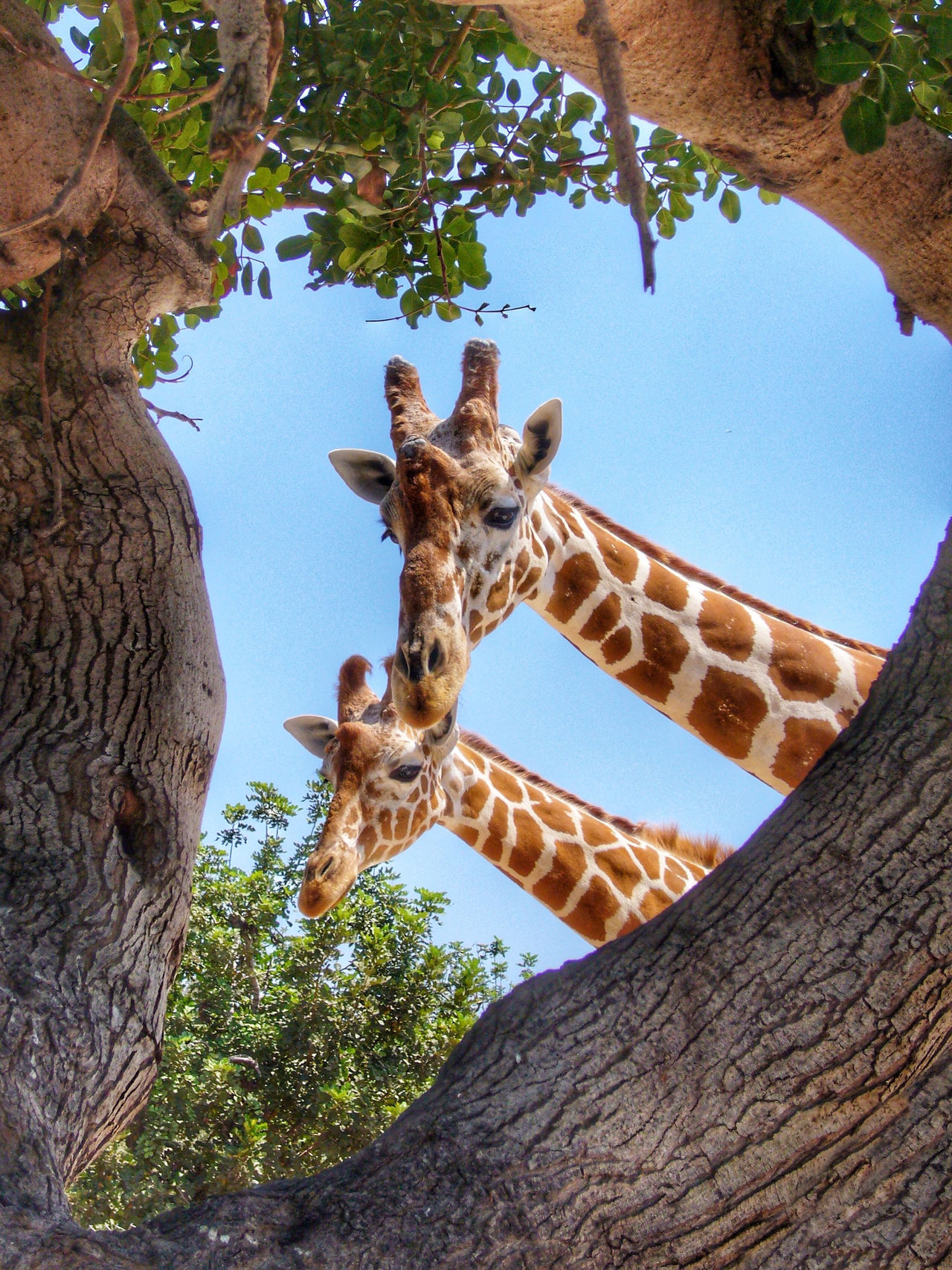 Animal Beauty In Nature Blue Close-up Couple Day Framed Giraffe Giraffes Low Angle View Mammal Nature No People Outdoors Pair Sky Tree Tree Trunk Two Two By Two Two Is Better Than One