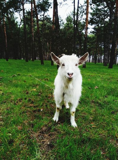 No People Day Kid Goat Looking At Camera Nature Landscape Sheep One Animal
