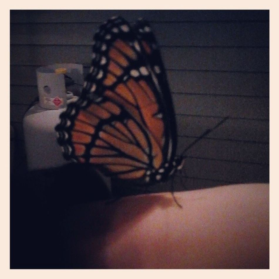 This is Alfred. I put him on my nose too.... Butterfly Monarch Jealousbecauseyoucantholdhim Alfred