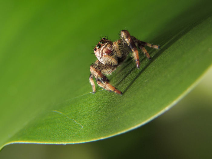 Animal Themes Animals In The Wild Beauty In Nature Close-up Extreme Close-up Eye Contact Green Green Color Jumping Spider Macro Magazhu Nature No People Plant Showcase September Spiders Wildlife Yelapa