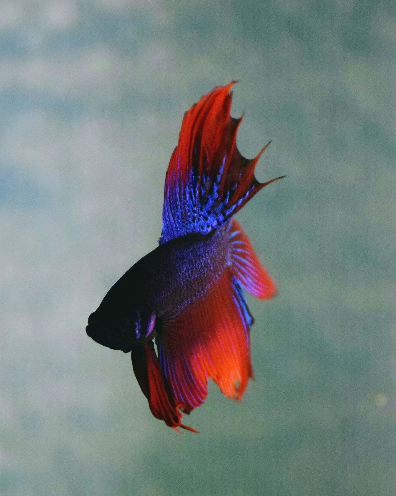Hello World Check This Out Taking Photos My Betta EyeEm Gallery Eyeem Photography Bettafishcommunity Animal Photography Fish Photography Bettasiamesefish Scales And Fins Fighter Fish Aquarium Eyeem4photography Nikon D5300 Photographer Betta Lovers Moon Tail Bettas Blue Fish Fishporn Blue And Red Colour