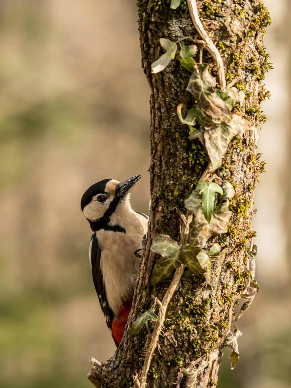 Beautiful stock photos of woodpecker,  Animal Wildlife,  Animals In The Wild,  Bird,  Close-Up