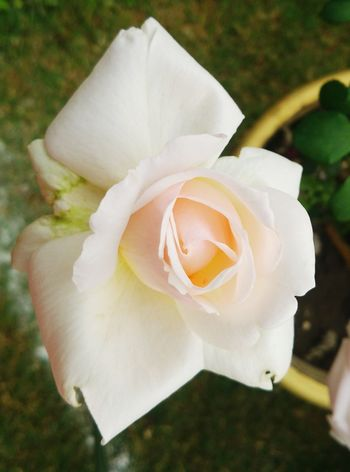 Pastel Power Beauty Redefined Beautiful Nature, Beautifulrose, Candid Photography, Love, Roses, Pastel Colors