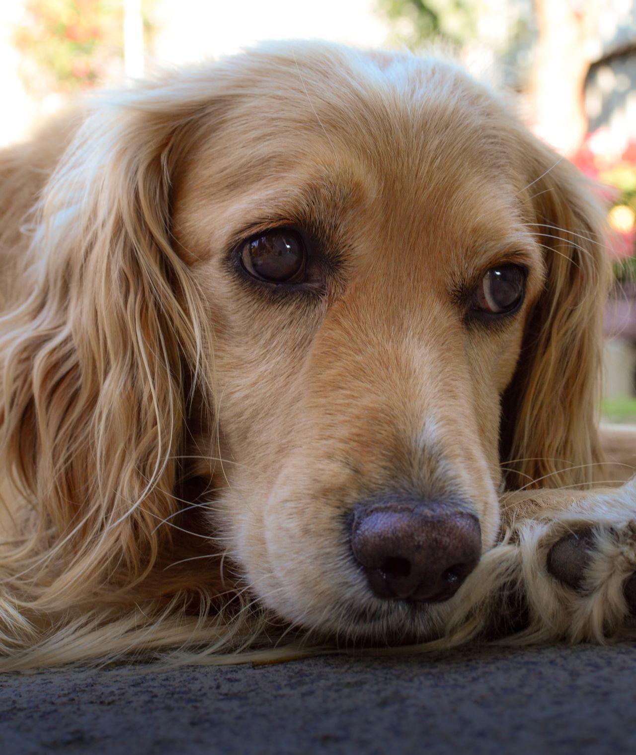 I Love My Dog My Dog My Dog <3 Ckoker Spaniel Hello World Taking Photos Enjoying Life IPhone IPhoneography