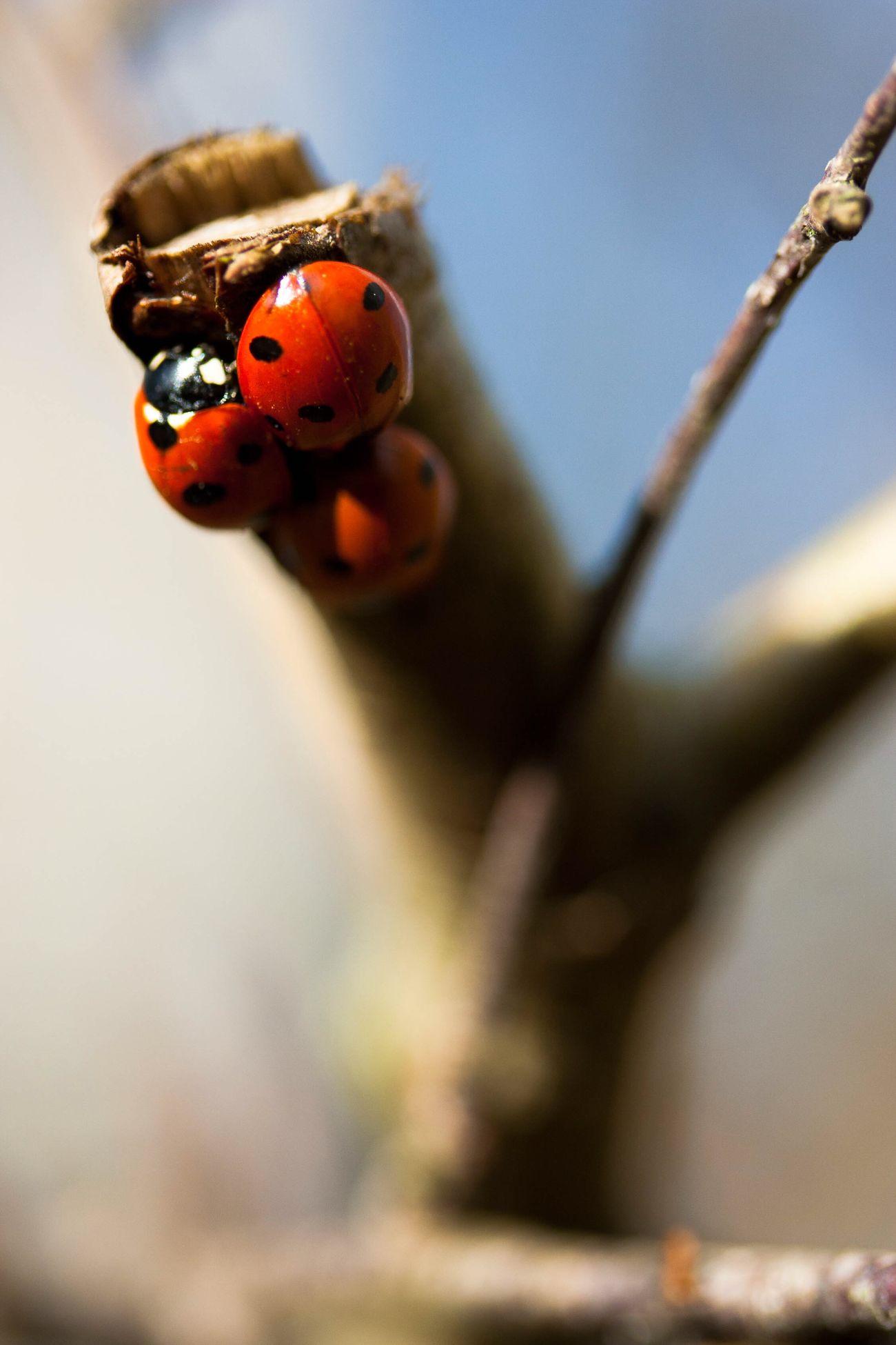 Ladybug Ladybird Insect Nature Wildlife Macro Red